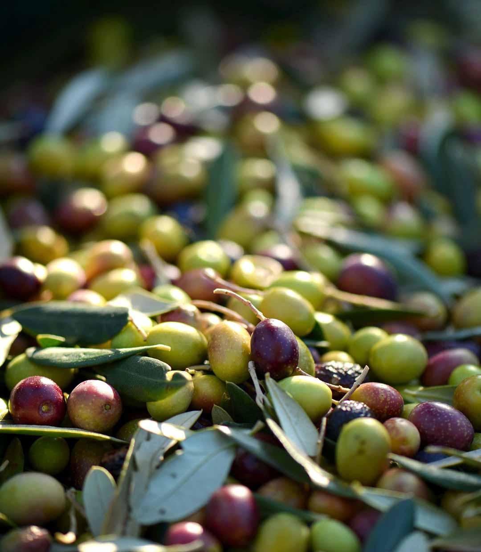 Die Polyphenol-starke Coratina Olive spielt die Hauptrolle in unserem Olivenöl